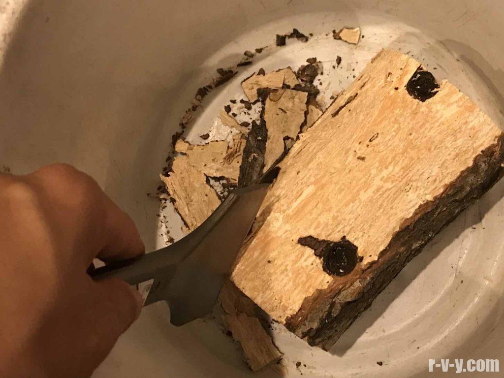 タガネで朽ち木の皮をけづりとる